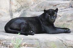 Zwarte panter Stock Foto
