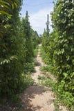 Zwarte peperaanplanting royalty-vrije stock afbeeldingen