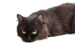 Zwarte Perzische kat Stock Foto's