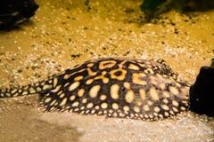Zwarte pijlstaartrog die op de bodem leggen die, in het zand wordt gecamoufleerd, tropisch aquariumhuisdier van Brazilië royalty-vrije stock fotografie