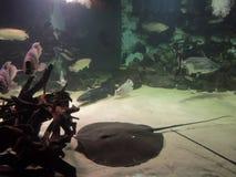 Zwarte Pijlstaartrog op zandbed in aquarium stock fotografie
