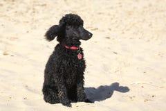 Zwarte poedel bij strand royalty-vrije stock fotografie
