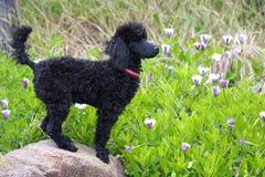 Zwarte poedel in tuin royalty-vrije stock foto