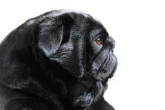 Zwarte Pug Royalty-vrije Stock Fotografie