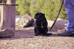 Zwarte pug dichtbij hem gastheer Stock Foto
