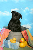 Zwarte Pug in een badton Stock Foto's