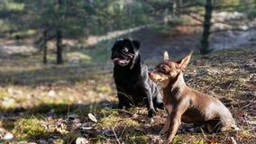 Zwarte pug en Russisch speelgoed-Terrier Stock Foto