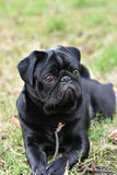 Zwarte Pug hond Royalty-vrije Stock Foto
