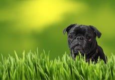 Zwarte pug met aard Royalty-vrije Stock Afbeeldingen