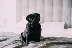 Zwarte pug zitting op bed Stock Afbeelding