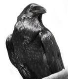 Zwarte raaf Royalty-vrije Stock Foto's