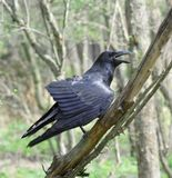 Zwarte raaf. Stock Foto