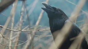 Zwarte raaf met open bekzitting onder takken van boom Zwart kraaiportret stock footage