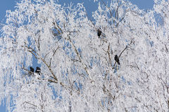 Zwarte Raaf in sneeuw witte berk Royalty-vrije Stock Fotografie