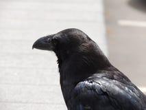 Zwarte raafclose-up Stock Afbeelding