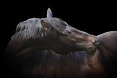 Zwarte rasechte hengst Royalty-vrije Stock Foto's