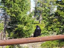 Zwarte Raven Keeping Guard op Omheining Rail met Forest Background stock foto