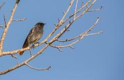 Zwarte Redstart die op boom wordt neergestreken Royalty-vrije Stock Foto's