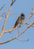 Zwarte Redstart die op boom wordt neergestreken Stock Fotografie