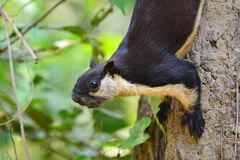 Zwarte reuzeeekhoorn Royalty-vrije Stock Foto
