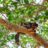Zwarte reuzeeekhoorn Royalty-vrije Stock Afbeelding