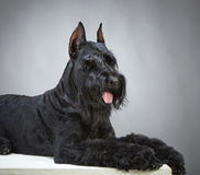 Zwarte Reuzeschnauzer-hond Royalty-vrije Stock Fotografie