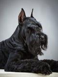 Zwarte Reuzeschnauzer-hond Stock Foto's