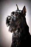 Zwarte Reuzeschnauzer-hond Stock Afbeeldingen