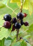 Zwarte rijpe bes in tuin, Litouwen royalty-vrije stock foto