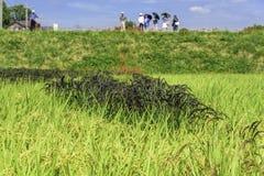 Zwarte rijst Royalty-vrije Stock Fotografie