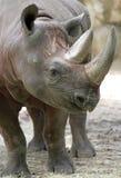 Zwarte Rinoceros Royalty-vrije Stock Afbeeldingen