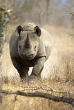 Zwarte Rinoceros Stock Afbeelding