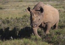 Zwarte Rinoceros Royalty-vrije Stock Foto's