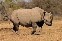 Zwarte rinoceros Stock Foto's