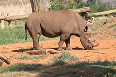 Zwarte Rinoceros Royalty-vrije Stock Foto