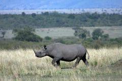 Zwarte Rinoceros Stock Foto