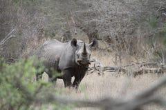 Zwarte Rinoceros Royalty-vrije Stock Afbeelding