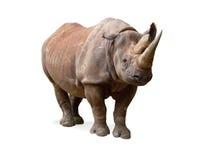 Zwarte Rinoceros (bicornis Diceros) stock afbeelding