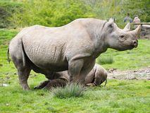 Zwarte Rinoceros in Chester stock afbeelding