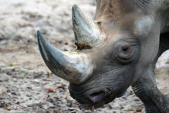 Zwarte rinoceros of haak-lipped bicornis van rinocerosdiceros Stock Fotografie