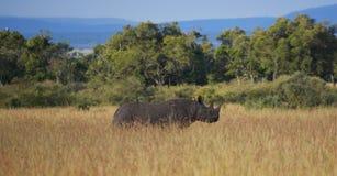 Zwarte rinoceros in het lange gras Stock Afbeelding