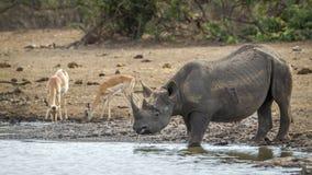 Zwarte rinoceros in het Nationale park van Kruger, Zuid-Afrika Royalty-vrije Stock Afbeeldingen