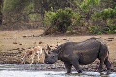 Zwarte rinoceros in het Nationale park van Kruger, Zuid-Afrika Stock Afbeelding