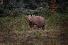 Zwarte Rinoceros, Nationaal Park Nakuru Stock Foto's