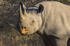 Zwarte rinoceros in wildernis 3 Stock Afbeeldingen