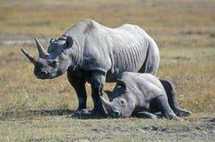 Zwarte Rinocerossen in Tanzania Stock Afbeelding