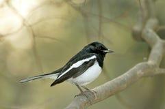 Zwarte Robin royalty-vrije stock foto's