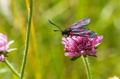 Zwarte rode bevlekte vlinder op de roze bloem Royalty-vrije Stock Foto's