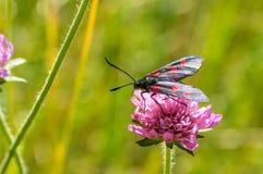 Zwarte rode bevlekte vlinder op de roze bloem Stock Afbeeldingen