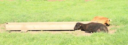 Zwarte schapen en bruine geit Stock Fotografie